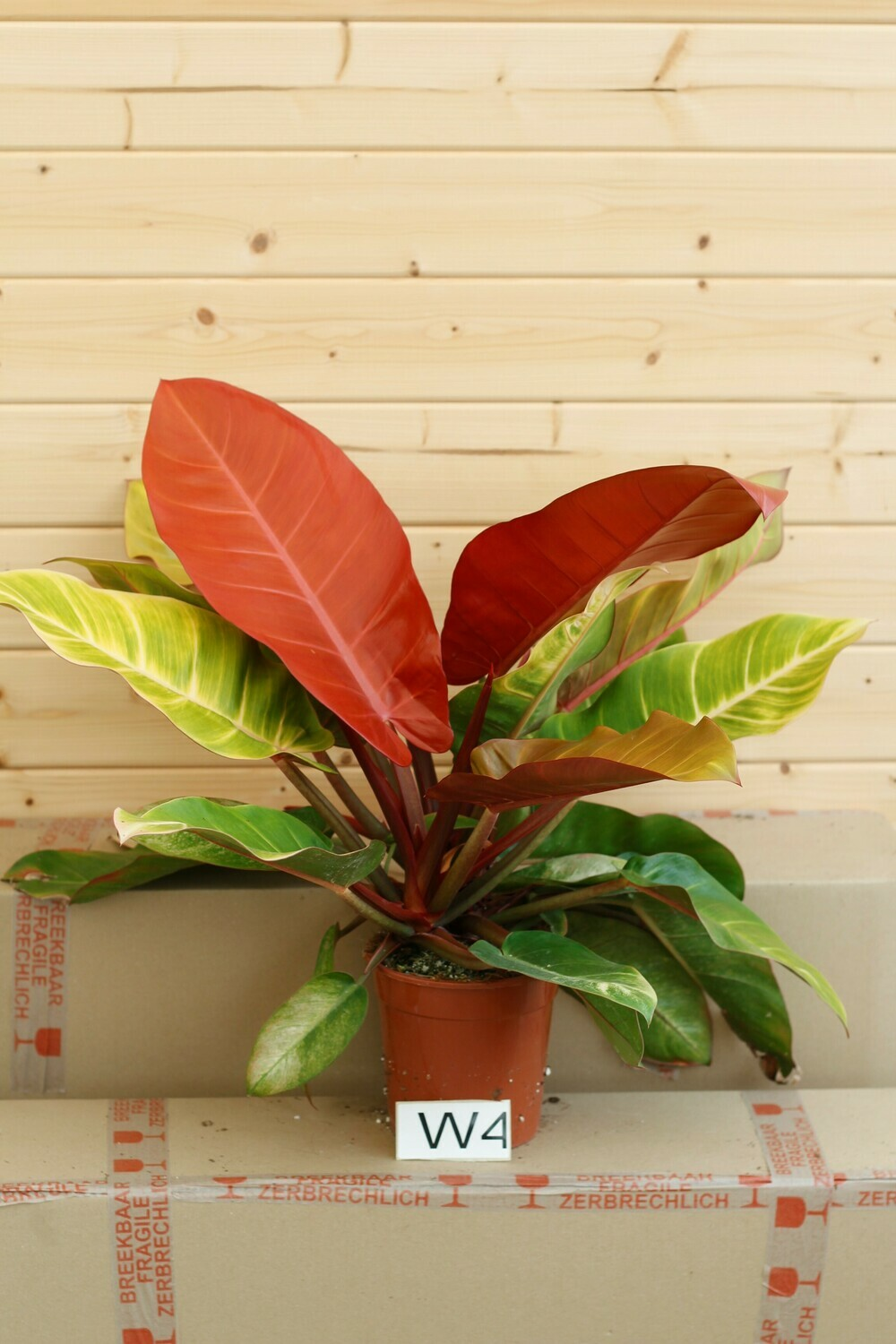 Philodendron 'Prince of Orange' W4  - 2 stems !