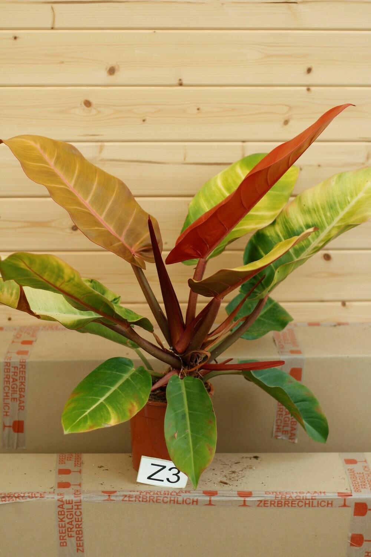 Huge Philodendron 'Prince of Orange Z3
