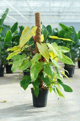 Philodendron 'Medisa' Painted Lady 120 cm mosspole