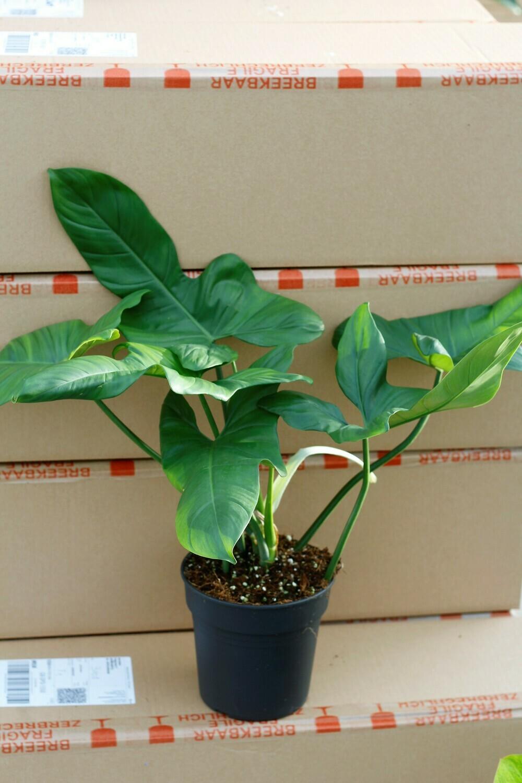 "Philodendron ""Fiddleleaf"" Bipennifolium"