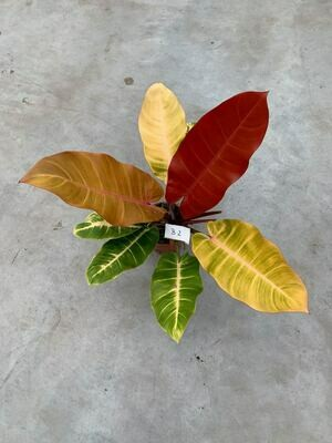 Huge Philodendron 'Prince of Orange B2
