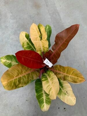 Huge Philodendron 'Prince of Orange B5