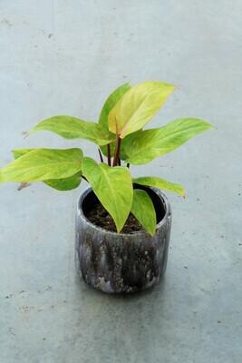 Philodendron 'Medisa' pot size 13 - now 2 plants/pot