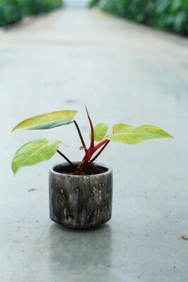 Philodendron 'Medisa' pot size 13