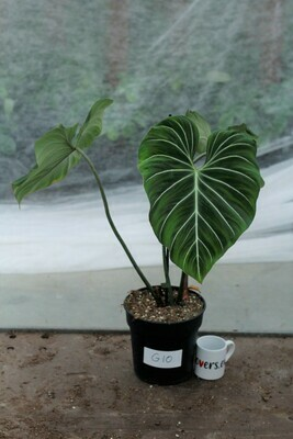 Philodendron Gloriosum XL - pot size 17 G10