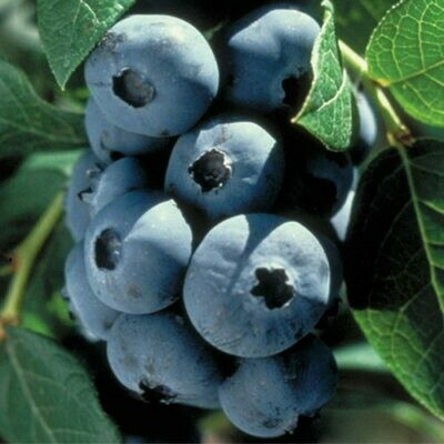 Blueberries - Prepicked BY THE POUND