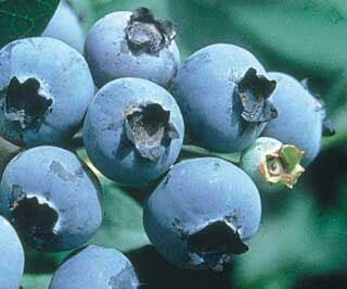 Blueberries, SMALL BUCKET - 6 pounds