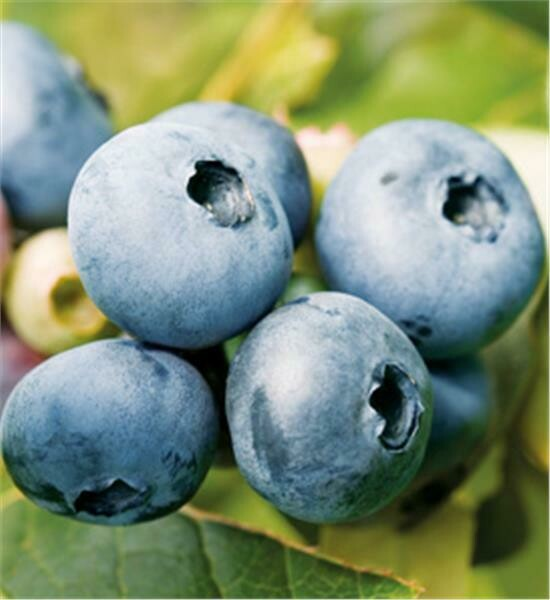Blueberries, LARGE BUCKET - 12 lbs