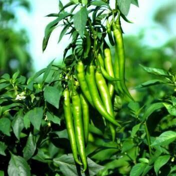 Mirchi/chilly - మిర్చి (Approximately 50 seeds)