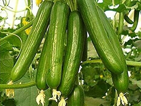 Cucumber green long (Approximately 30 seeds)