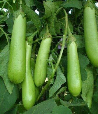 Brinjal Green Long