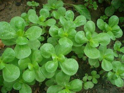 Purslane Seeds (Approximately 200 seeds)