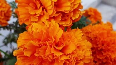 Marigold Orange Colour (Approximately 50 seeds)