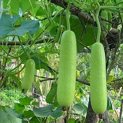 Bottle Gourd (Approximately 15 Seeds )