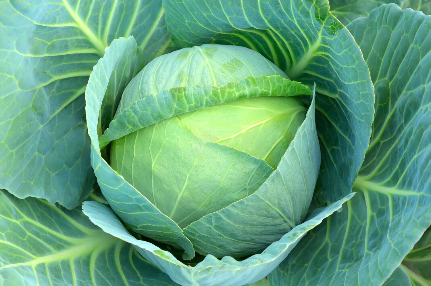 Cabbage (Approximately 20 seeds)