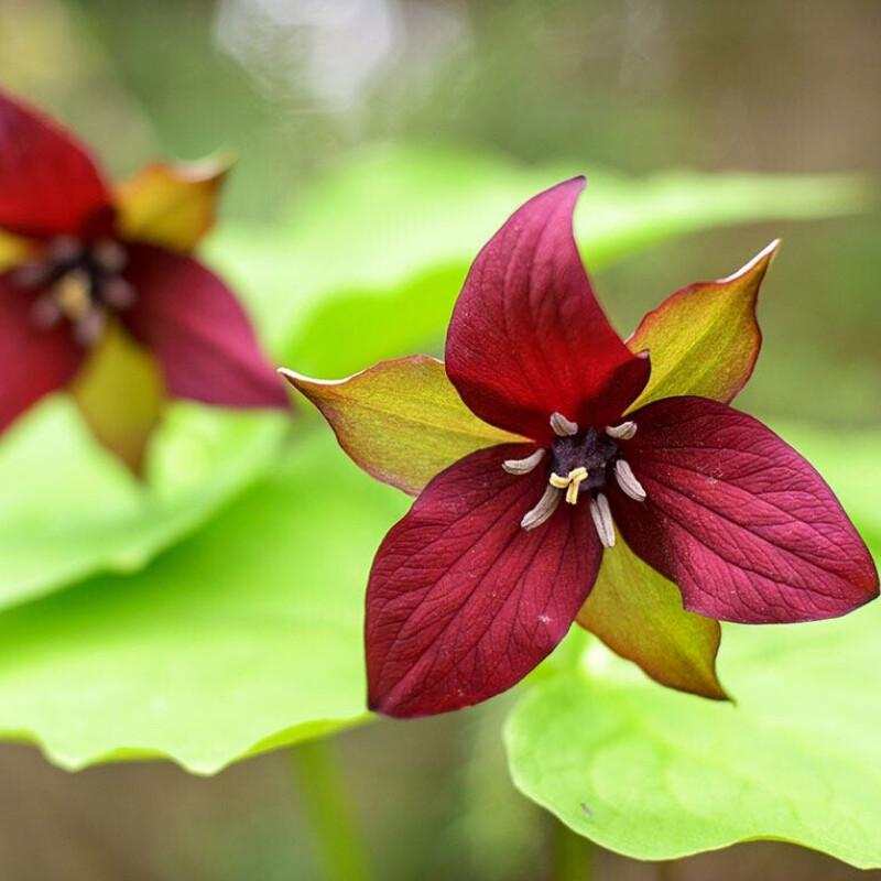 Red Trillium Flower Essence