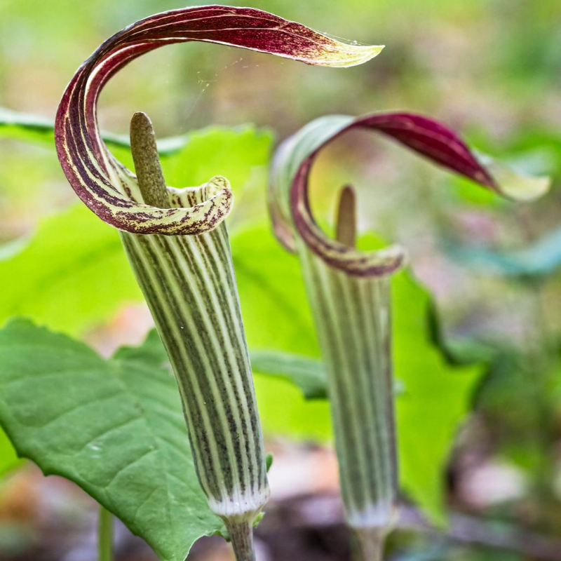 Jack-in-the-Pulpit Flower Essence