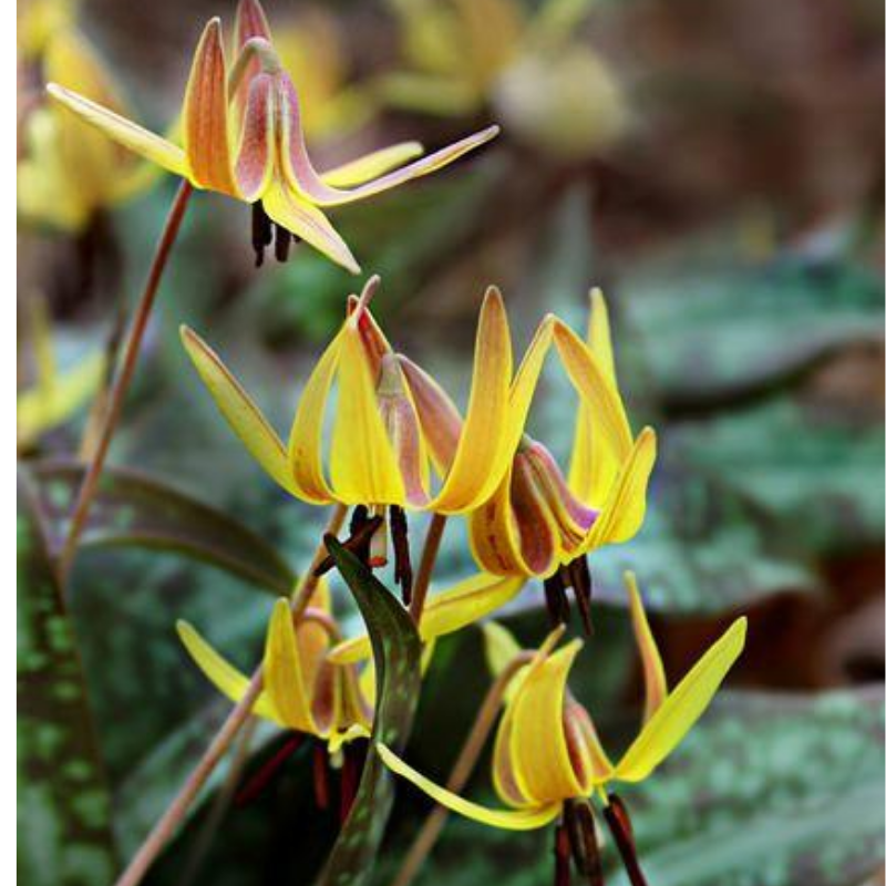 Trout Lily Flower Essence
