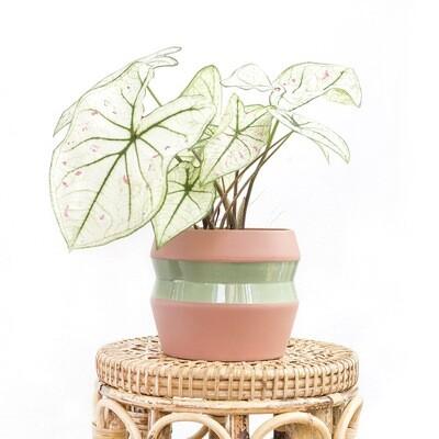 Algae Pot