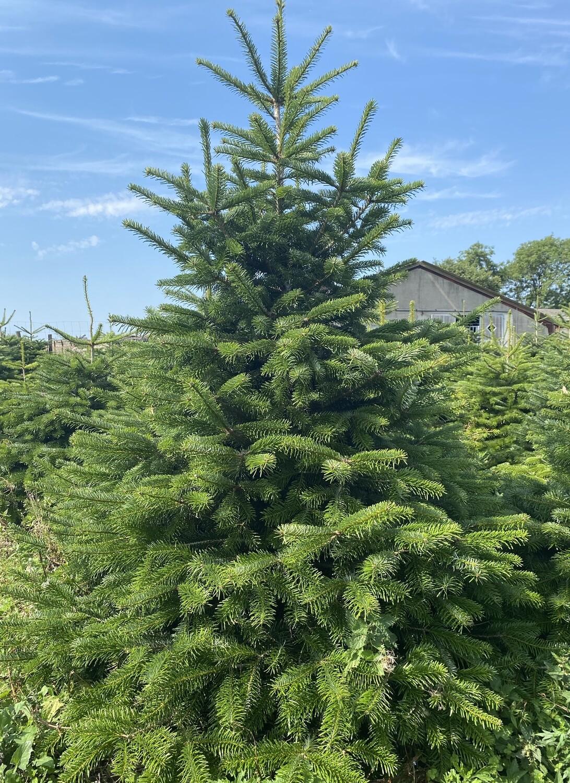 Alle Juletræer skal holde Juleaften.  200 - 250 cm