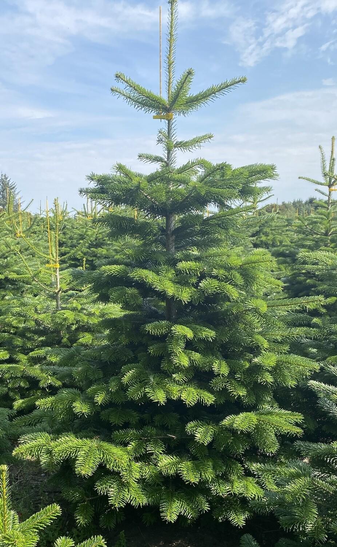 Alle juletræer skal holde Juleaften. 150 - 200 cm