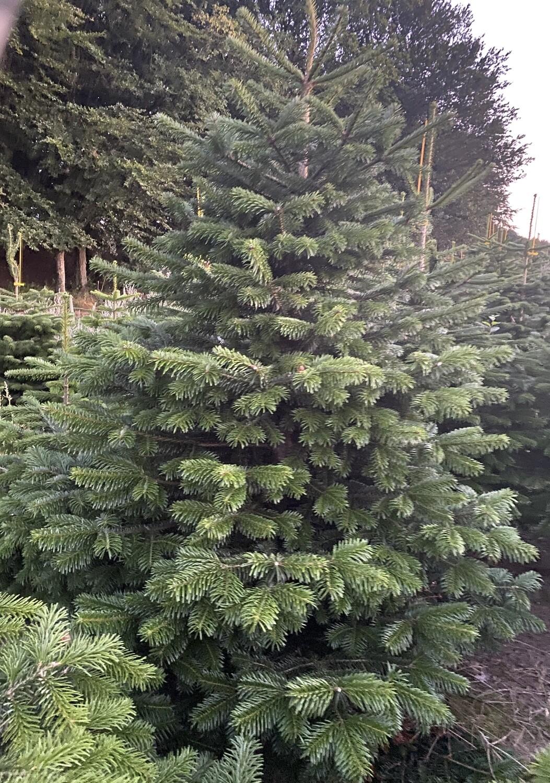 Juletræ Nordmann 200 - 225 cm.