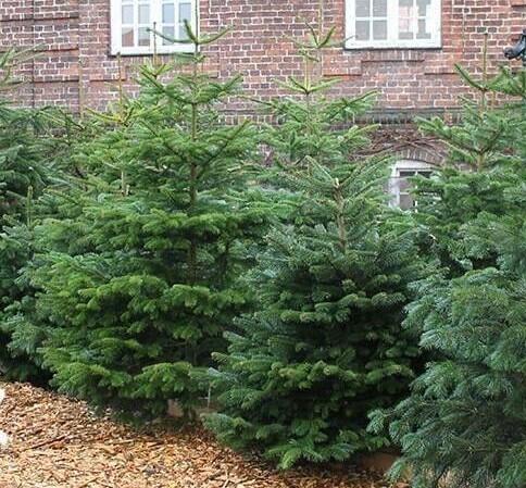 Juletræ Nordmann 100 - 150 cm.