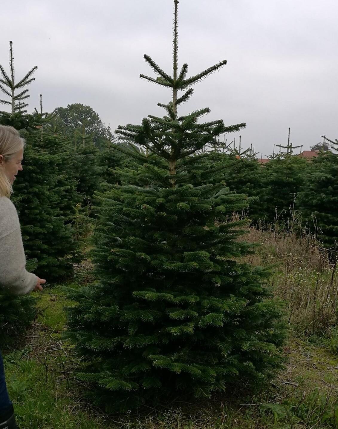 Juletræ Nordmann 150 - 200 cm.