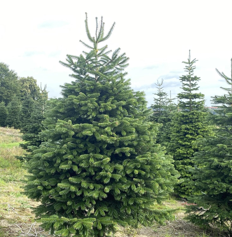 1 stk. 2,5 meter Juletræ - Ædelgran