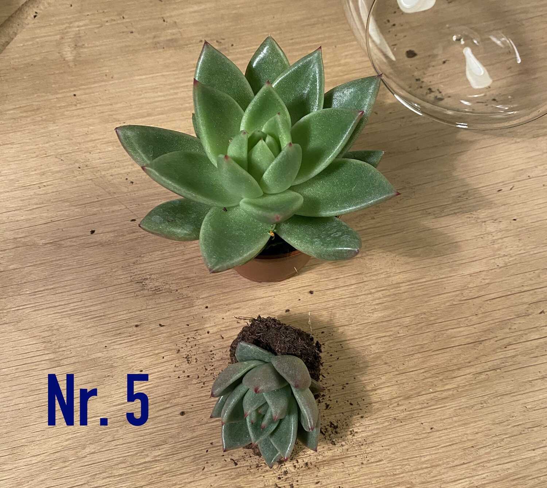 Nr. 5. Stikling. Sukkulent