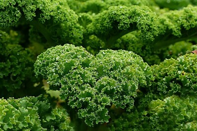 Green Crinkle Leaf Kale (bunch)