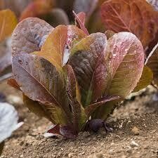 Red Romaine Lettuce (per head)