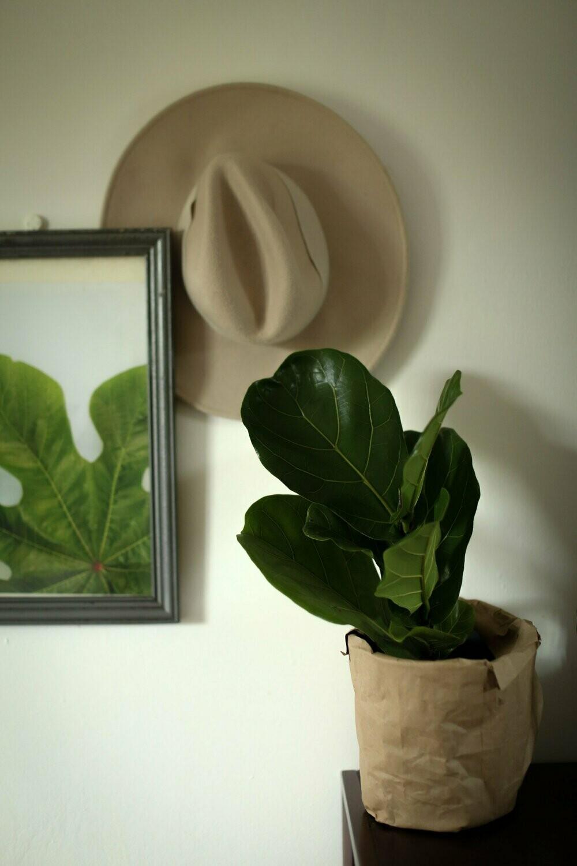 Pre Order Ficus Lyrata   Fiddle Leaf Fig