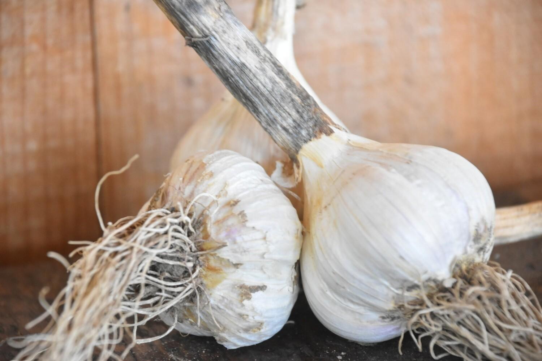 Garlic   Bulb   Tangerini's Own