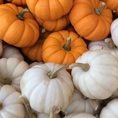 Mini Pumpkins   Each