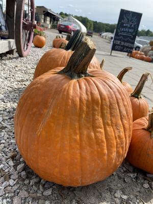 Jack O' Lantern Pumpkin   About 15 lbs