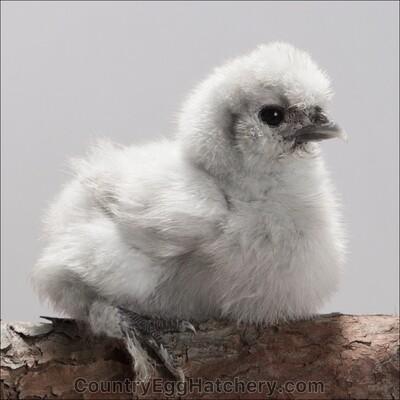 Splash Silkie Chicken