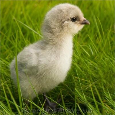 Lavender Ameraucana Chicken