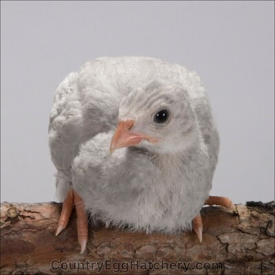 Lavender Guineafowl