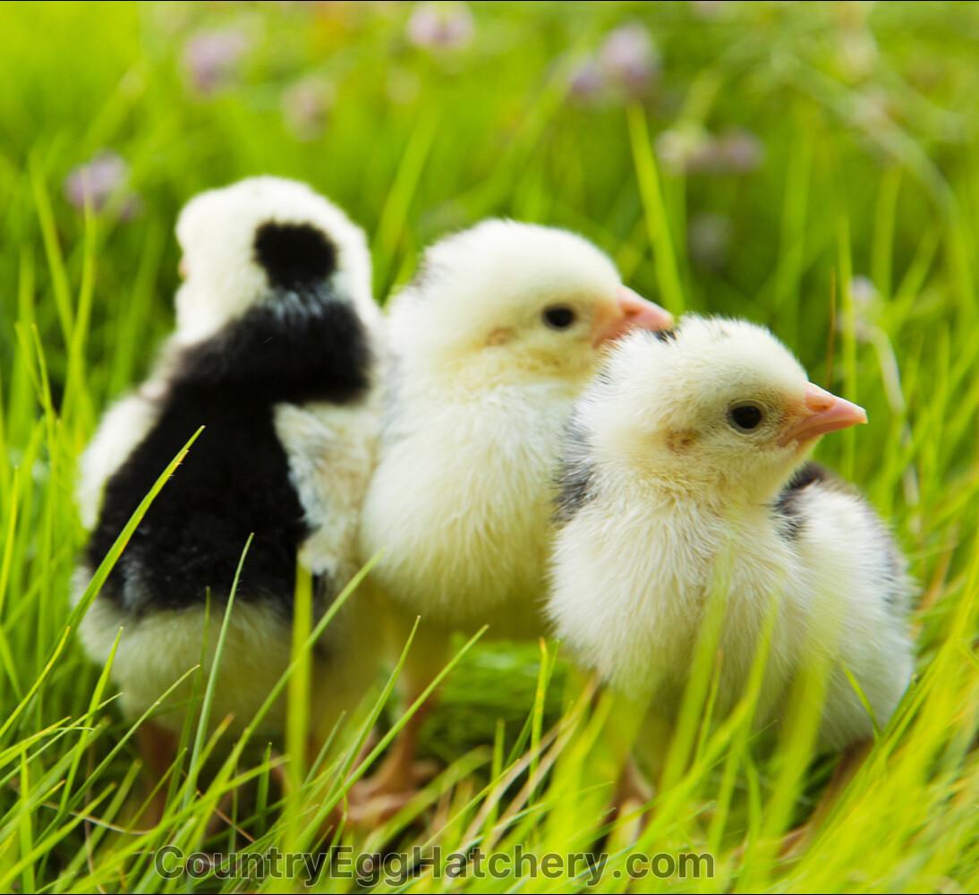 Orust Chicken