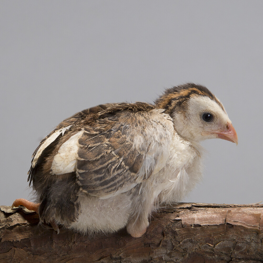Pearl Guineafowl