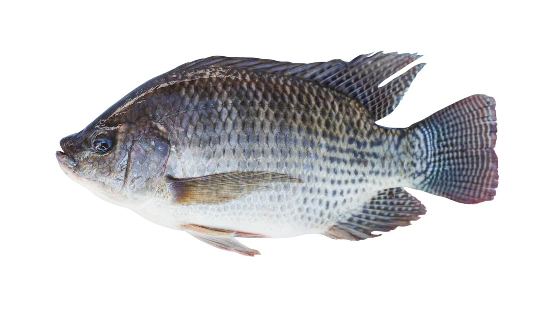 IMPORTATION FISH TILAPIA