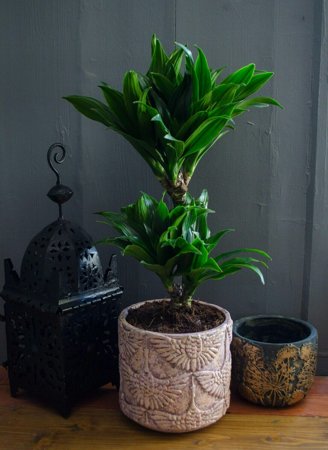Dracaena in 'Yuda' Pot