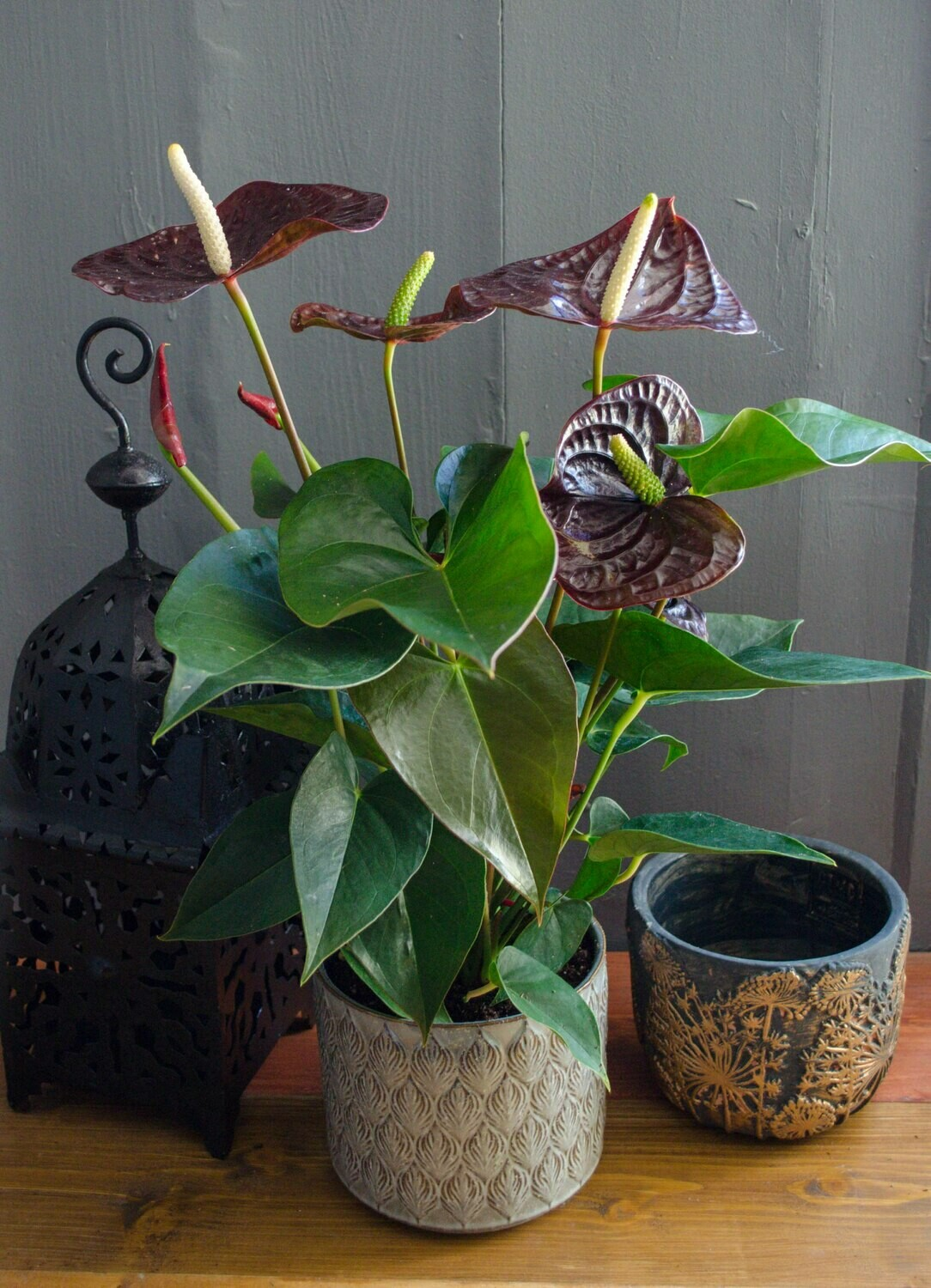 Chocolate Anthurium in 'Lea' Pot