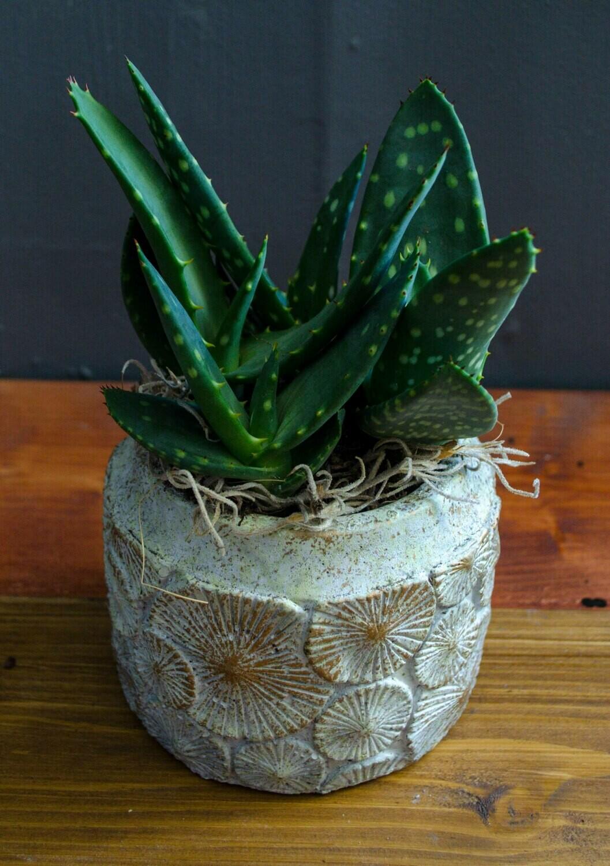 Aloe Vera in 'Aisha' Pot