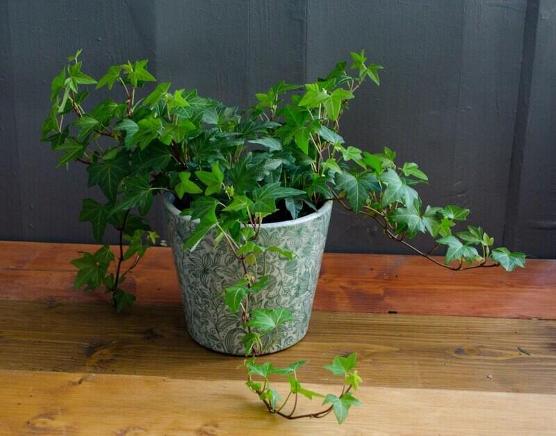 Ivy in 'Suzet' Pot