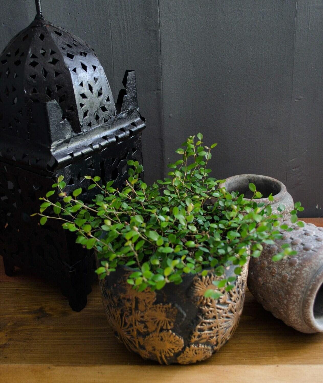 Creeping Wire Vine in 'Dandelion' Pot