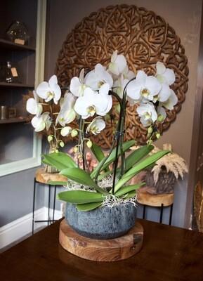 White Umbrella Phalaenopsis Orchids