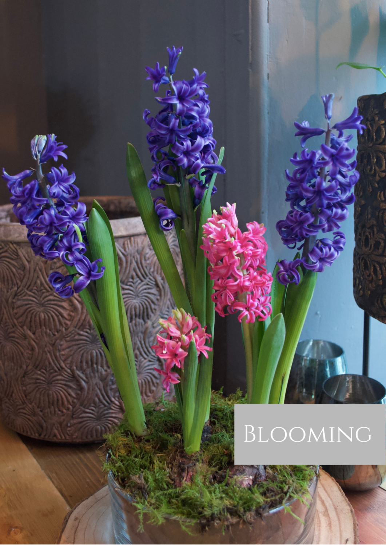 Hyacinths in clear vase