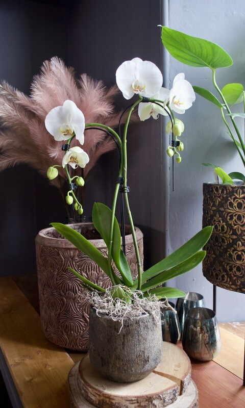 White Umbrella Phalaenopsis Orchid